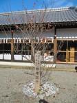 後藤田正純・水野真紀 結婚記念樹